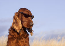 Funny dog with sunglasses Royalty Free Stock Photography