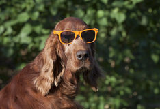 Funny dog with sunglasses Royalty Free Stock Image