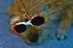 Funny dog with sunglasses. Sleeping on the sun Royalty Free Stock Photography