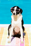 Funny dog with sunglasses on summer at swimming pool Royalty Free Stock Photography