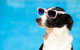 Funny dog with sunglasses on summer towards swimming pool stock images