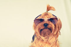 Funny dog in sunglasses Royalty Free Stock Photos