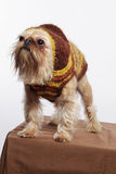 Funny dog with sweater, Griffon. Studio picture, funny dog with sweater Royalty Free Stock Photos