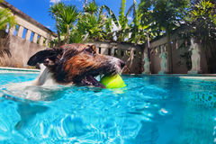 Funny dog swim in pool. Playful jack russell terrier puppy in swimming pool has fun - dog jump, swim and dive underwater to retrieve ball. Training and active Stock Images