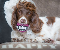 Funny dog teeth. With ball in mouth royalty free stock photography