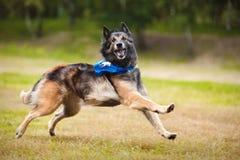 Funny dog Tervueren running