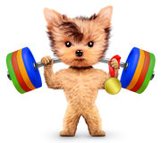 Funny dog training with barbell and hold medal Royalty Free Stock Images