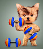 Funny dog training with dumbbell in sport gym Stock Photography