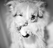 Dog paws closes its muzzle. Funny dog trick - dog paws closes its muzzle, closeup stock image