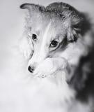 Dog paws closes its muzzle Royalty Free Stock Photos