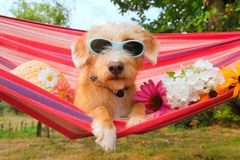 Funny little dog on vacation in hammock. Funny dog on vacation in hammock siwth sunglasses head,and flowers royalty free stock photos