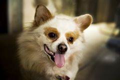 Funny dog very intelligent. Dachshund. Dog food. Pet food. Dog foot. Dog lovers. Pet lovers. Animalia. Animal lovers. Dog training. Hound. Puppy. Dog of prey royalty free stock image