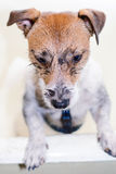 Funny dog after a walk. Jack Russell Terrier pet washing dirty body Royalty Free Stock Photos