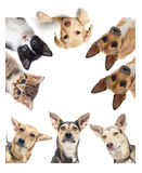 Funny dog  watching Royalty Free Stock Photo