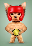 Funny dog wearing boxing helmet and belt Stock Images