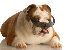 Funny dog wearing glasses Stock Photo