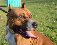 Funny dog wearing glasses Stock Photo
