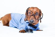 Funny dog wearing glasses and a shirt Stock Images