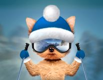 Funny Dog wearing ski goggles. Christmas concept. Funny Dog wearing ski goggles with reflection of mountains and holding ski sticks. New Year and Christmas Stock Photo