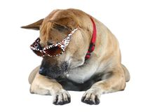 Funny Dog Wearing Sunglasses Royalty Free Stock Images