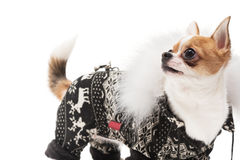 Funny dog wearing wearing winter outfit Stock Photos