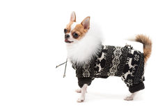 Funny dog wearing wearing winter outfit Stock Photography