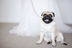 Funny dog at wedding Stock Image