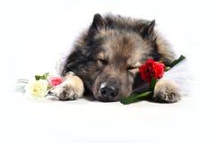 Funny Dog wedding Rose Royalty Free Stock Photography