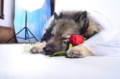Funny Dog wedding Rose Royalty Free Stock Photos