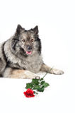 Funny Dog wedding Rose Stock Images