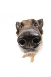 Funny dog on the white background wide angle Stock Photography