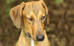 Free Funny Dog Winking Stock Photos - 70096053