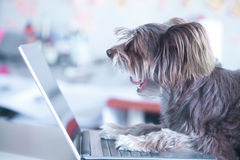 Funny dog works at the laptop. Pet using computer Royalty Free Stock Photos