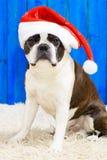 Funny dog at xmas Royalty Free Stock Image