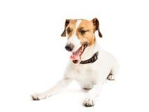 Funny dog yawns Royalty Free Stock Photo