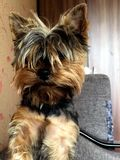 Funny dog Yorkshire Terrier. The dog - man`s best friend. royalty free stock photography