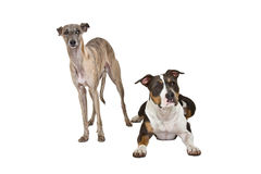 Funny dogs Royalty Free Stock Image