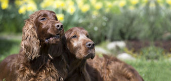 Funny dogs banner. Website banner of funny Irish Setter dogs stock photos
