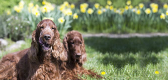 Funny dogs banner. Website banner of funny Irish Setter dogs in Easter garden royalty free stock image