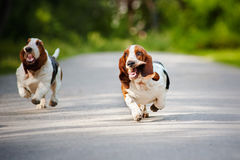 Funny dogs Basset hound running Royalty Free Stock Photography