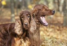 Funny dogs Royalty Free Stock Photo