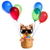 Funny dogs in easter basket with balloons. Stock Images