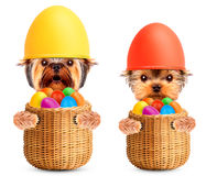 Funny dogs in easter basket with eggs. Royalty Free Stock Images