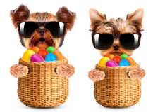 Funny dogs in easter basket with eggs. Stock Photos