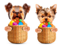 Funny dogs in easter basket with eggs. Royalty Free Stock Image