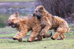 Free Funny Dogs Frolicking In The Park Stock Image - 26669771