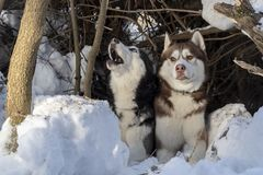 Funny dogs are hiding in snowdrift in the winter forest. Brown husky dog looks at the black howling Siberian husky. Funny cute dogs stock images