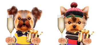 Funny dogs holding glass of champagne and gift Royalty Free Stock Photo