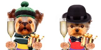 Funny dogs holding glass of champagne and gift Stock Image