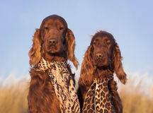 Funny dogs. Funny Irish Setter dogs looking at the camera royalty free stock image
